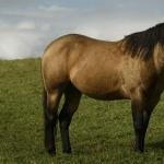 Quarter Horse new wallpapers