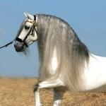 Quarter Horse X Appaloosa widescreen