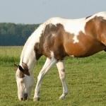 Quarter Horse X Paint 1080p