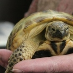 Russian Tortoise hd photos
