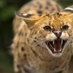 Serval pic
