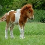 Shetland Pony background