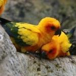 Sun Conure cute