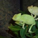 Veiled Chameleon new wallpapers