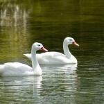 White Ducks hd wallpaper