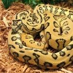 Yellow Anaconda high definition photo