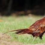 Aceh Pheasant desktop