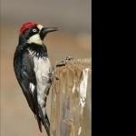 Acorn Woodpecker 1080p
