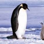 Adelie Penguin new wallpaper