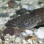 African Dwarf Frog free
