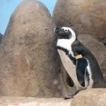 African Penguin new photos