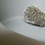African Pygmy Hedgehog funny