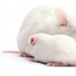 Albino Mouse hd desktop