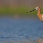 American Avocet free download