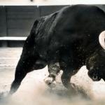 Bull hd pics