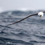 Campbell Albatross wallpapers for desktop