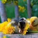 Duck hd