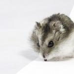 Dwarf Hamster hd