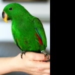 Eclectus Parrot photo