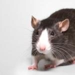 Fancy Rat background