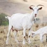Goat hd wallpaper