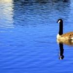 Goose 2016
