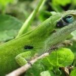 Green Anole photos