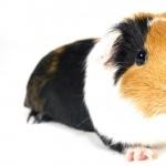 Guinea Pig hd desktop