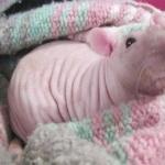 Hairless Rat photo