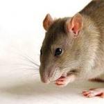Medium Rat breed