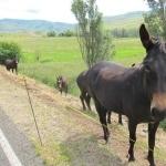 Miniature Mule pic