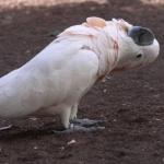 Moluccan Cockatoo widescreen