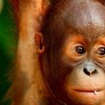 Orangutan full hd