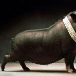 Pig hd