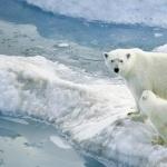 Polar Bears 2016