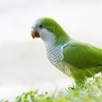 Quacker Parrot images