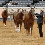 Quarter Horse image