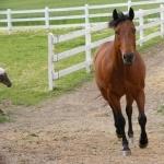 Quarter Horse X Appaloosa photos