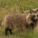 Raccoon desktop