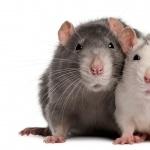 Rat wallpaper