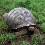 Russian Tortoise desktop wallpaper