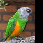 Senegal Parrot background