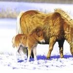 Shetland Pony new wallpapers