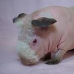 Skinny Pig desktop