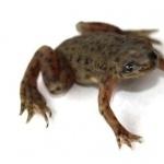 African Dwarf Frog widescreen