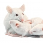 Albino Mouse new wallpaper