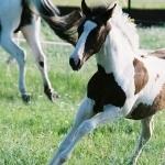 American Paint Horse wallpapers for desktop