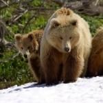 Bear desktop