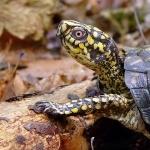 Box Turtle desktop wallpaper