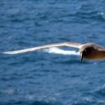 Campbell Albatross free wallpapers